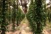 Kampot-Pfeffer Plantage