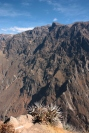 Die berühmten Kondore am Colca Tal