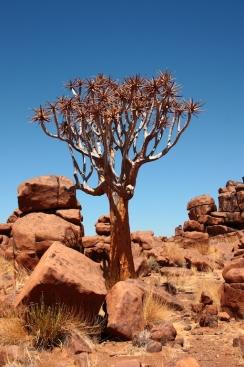 Köcherbaum zwischen den aufeinander getürmten Magmasteinen