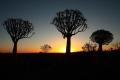 Der Köcherbaumwald bei Sonnenuntergang