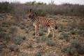 Ein etwas aggressives Zebra beim Wandern in den Ausläufern der Kalahari-Wüste